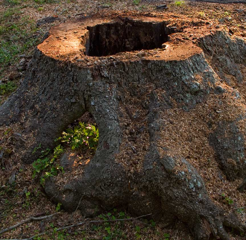 An old pecan tree is cut down gerald grow 39 s home page for Tree trunk slice ideas